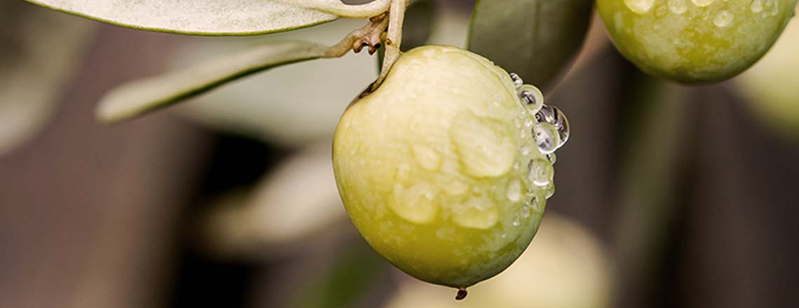 Close up of olives in an Olive Tree